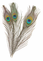 Creativity Street Peacock Feathers
